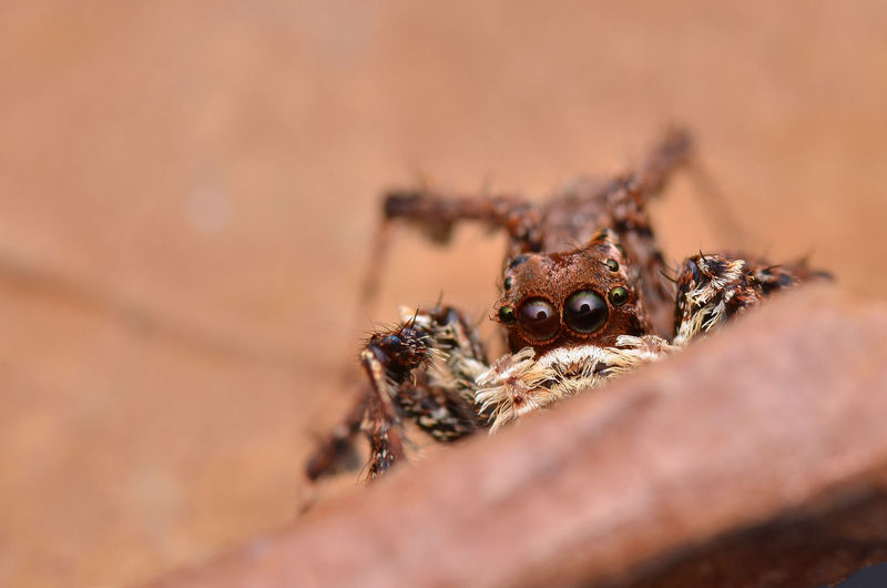 The World's Most Intelligent Spider, Portia Jumping Spider Intelligent Smart Animal Eye Animal Themes Animal Wildlife Arachnid Close-up Creature Fauna Hairy  Hunting Insect Invertebrate Jumping Spider Mostache Nature Portia Predator Salticidae Spider