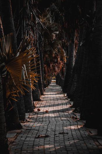 Sugar palm tunnel in nakhon ratchasima, thailand