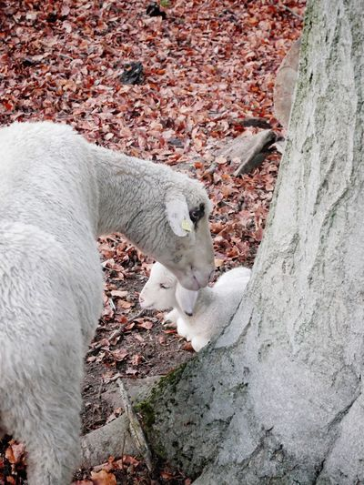 mother with newborn lamb Copy Space Winter Autumn Schafe Nobody Cute Trust Bonding Protective Newborn Cute Lambs And Sheep Lambs Mother Animal Animal Themes One Animal Vertebrate Mammal No People Animal Wildlife Animals In The Wild Domestic Animals Outdoors Resting High Angle View