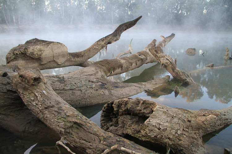 Gnarly gum trees fallen in the Murray River Australian Landscape Beauty In Nature Brown Day Early Morning Fog Foggy Morning Gnarly Branches Gumtrees Gunbower Intertwined Branches Lake Misty Morning Murray River Murrayriver Nature No People Outdoors Scenics Sky Smoke On The Water Tree Branches Tree Branches In Water Trees In Water Water EyeEm Ready