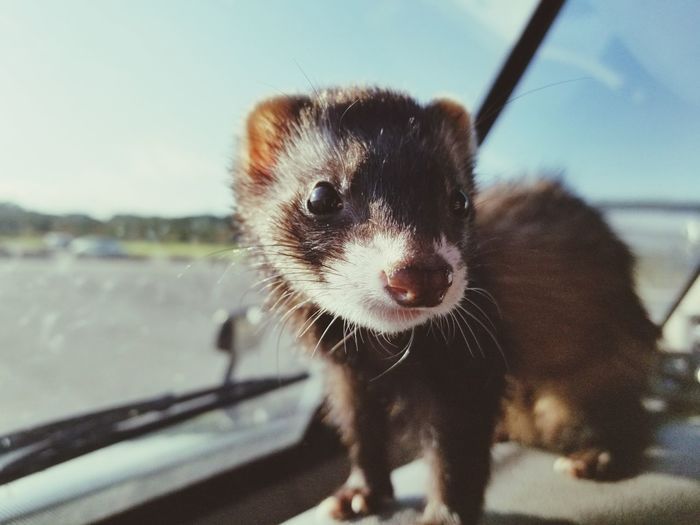 Cute Looking At Camera Animal Pets Ferret FerretFriends Pet Portraits Domestic Animals Close-up One Animal