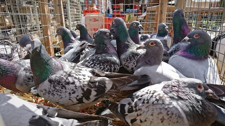 Nous ne sommes pas des pigeons... Pigeons Oiseau en cage... Pigeon Bird Birds Birds_collection Agora Market Marketplace Volatile
