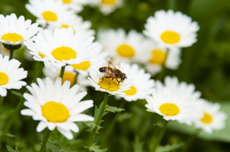 Nature Daisy
