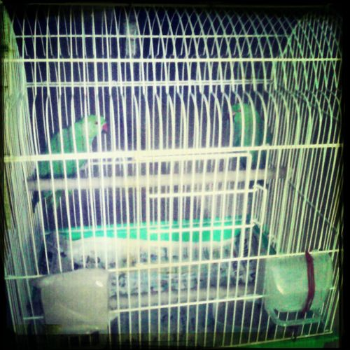 Birds, my pets, parrot