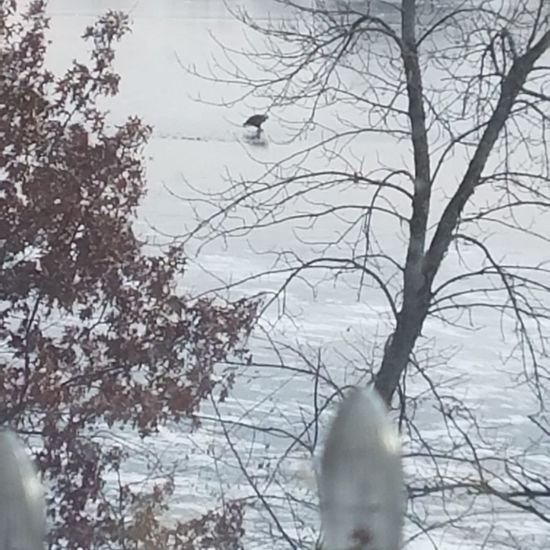 An eagle looking for fish to eat. I took this yesterday (12-10-2017) at my in-laws. Winter Snow Cold Temperature Bare Tree Outdoors Animals In The Wild One Animal Day No People Bird Eagle Ice Frozen Lake Animal Themes