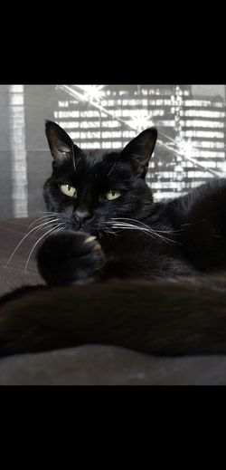 Chilled Cat Black Cats Chocolate Brown Pets Portrait Feline Domestic Cat Sitting Reflection Close-up Cat Whisker At Home
