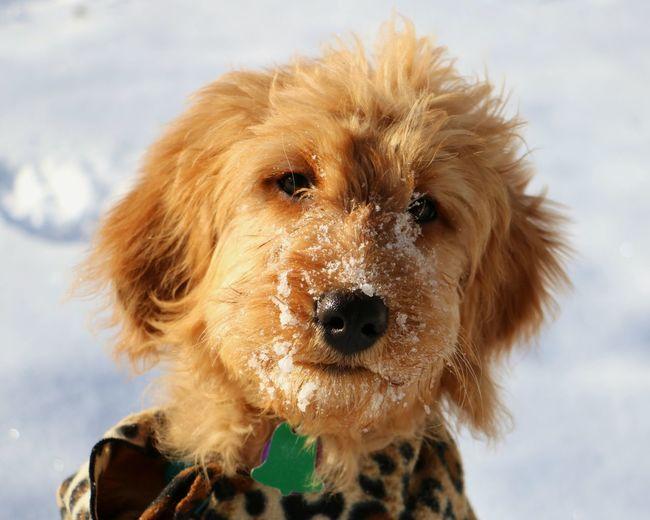 Close-up portrait of goldendoodle during winter