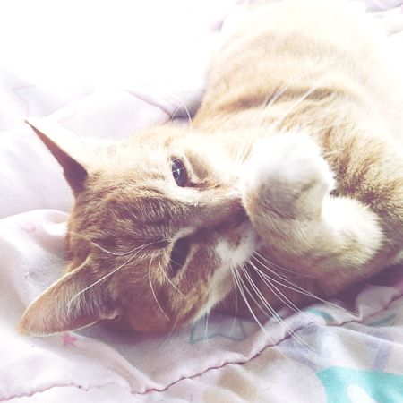 Pets Domestic Cat Domestic Animals One Animal Mammal Close-up Lying Down Whisker No People Cat Day Indoors  Feline Photography Tabby