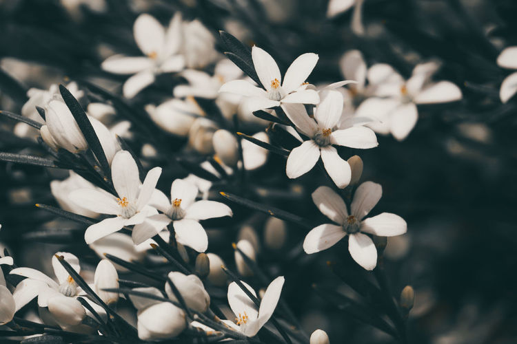 Death Star plants Beauty In Nature Blooming Close-up Day Flower Flower Head Fragility Frangipani Freshness Growth Nature No People Osteospermum Outdoors Petal Plant Springtime Tree White Color