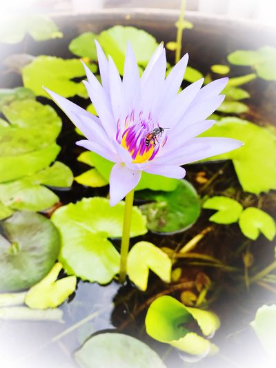 The purple lotus flower and the bee 🐝 Garden Flora Green Purple IPhoneography Lotus Flower Invertebrate Petal Growth Animal Wildlife Flower Head Animals In The Wild One Animal Close-up Animal Themes Nature