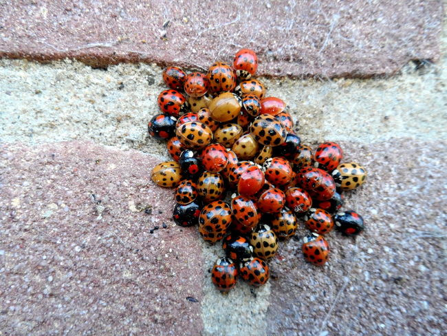 Overwintering - different colours, same species, same shelter Beetle Black And Red Brick Wall Close-up Cluster Coccinelle Coccinellidae Freshness Harmonia Harmonia Axyridis Hibernate Hibernation High Angle View Ladybeetle Ladybird Ladybirds Ladybirds 🐞 Ladybird🐞 Ladybug Ladybug Collection Ladybugs Ladybugs Everywhere Ladybugs Photography Ladybug🐞 Overwintering