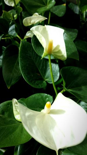 Anthurium Anthuriums White Anthurium White Flowers Flowers White White And Green Nature Nature_collection Nature Photography Naturelovers Plants And Flowers