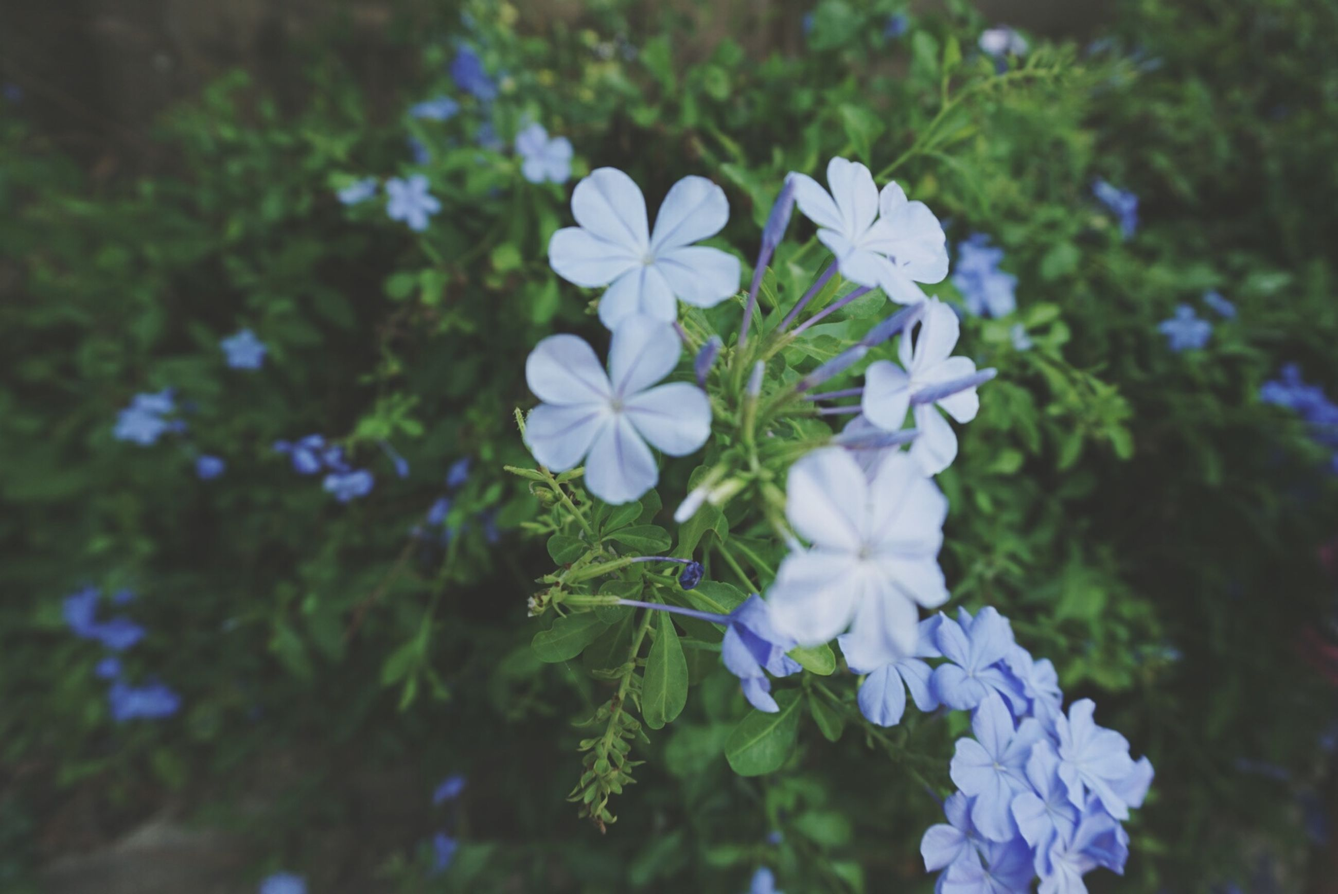 flower, growth, freshness, fragility, petal, purple, beauty in nature, focus on foreground, blooming, plant, nature, flower head, blue, close-up, in bloom, white color, park - man made space, selective focus, day, stem