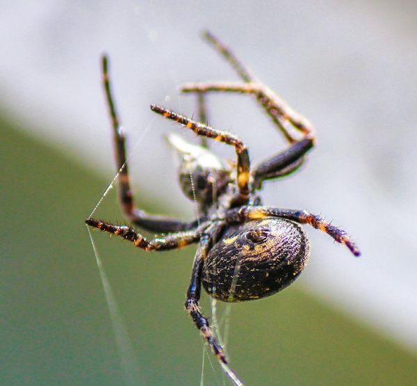 Spider Pets Corner False Widow Arachnid Arachnophobia Arachnids