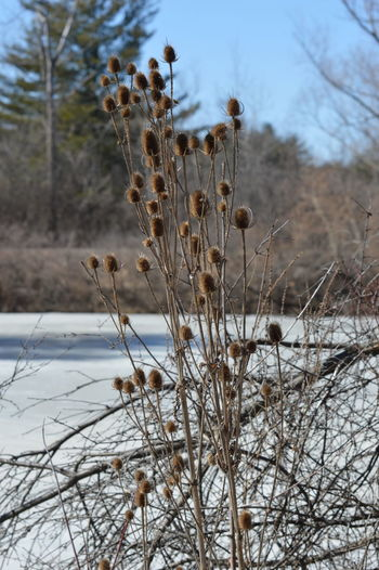 Close-up of dry plants on snow covered land