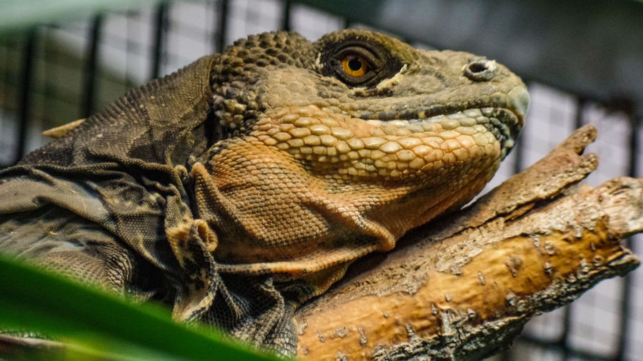 Animal Themes Reptile Animals In The Wild Animal Wildlife One Animal Animal Vertebrate Close-up Lizard No People Bearded Dragon Day Focus On Foreground Animal Body Part Animal Head  Looking Outdoors Selective Focus Iguana Nature Animal Scale