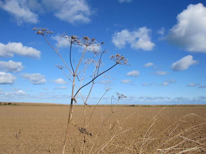 Dry cow parsnip on field against blue sky