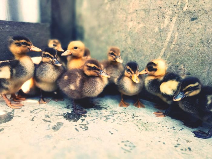 Bird Young Bird Duckling Young Animal No People Domestic Animals Outdoors Day Nature Close-up EyeEmNewHere Freshness Growth Focus On Foreground Be. Ready.