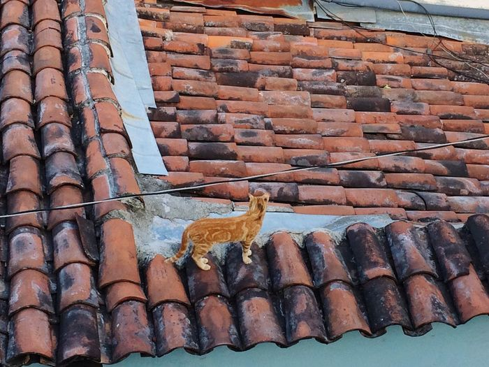 Cat on roof tiles