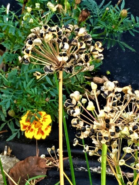 Beauty In Nature Blooming Close-up Day Flower Flower Head Fragility Freshness Garlic Chive Gone To Seed Growth Nature No People Outdoors Plant