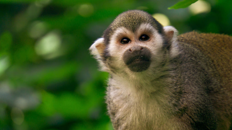 Spider monkey Spider Monkey Beauty In Nature Beautiful Nature Protection Nature_collection Monkey Naturelovers EyeEm Selects Portrait Looking At Camera Meerkat Closing Close-up Animal Eye Yellow Eyes Eye Animal Head  Animal Face Eye Color Mug Shot