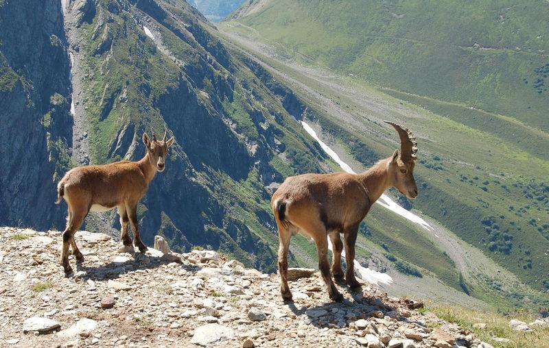 Antelope on mountain landscape