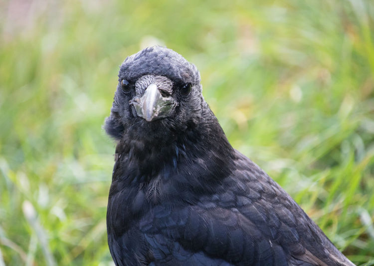 Close-up portrait of crow standing in a summer field
