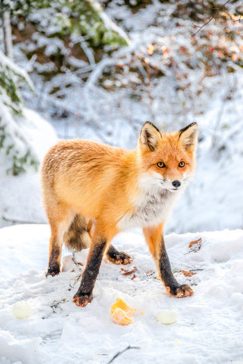 EyeEm Selects Animal Winter Snow One Animal Animal Wildlife Cold Temperature Animals In The Wild Looking At Camera Nature Outdoors Animal Themes No People Day Invierno Fox Zorro Cute Lindo  Travel Forest Bosque Fresh On Market 2017