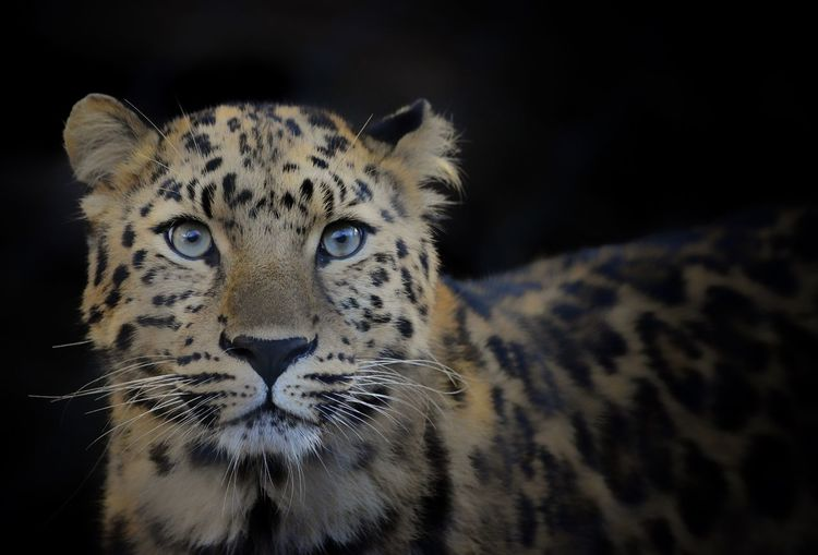 Close-up of leopard against black background