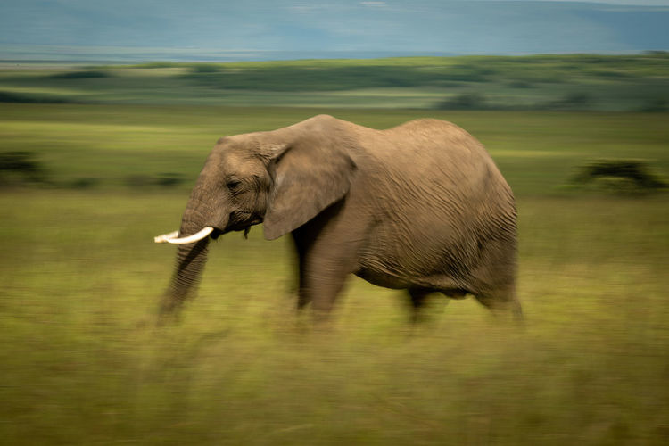 Slow pan of walking african bush elephant