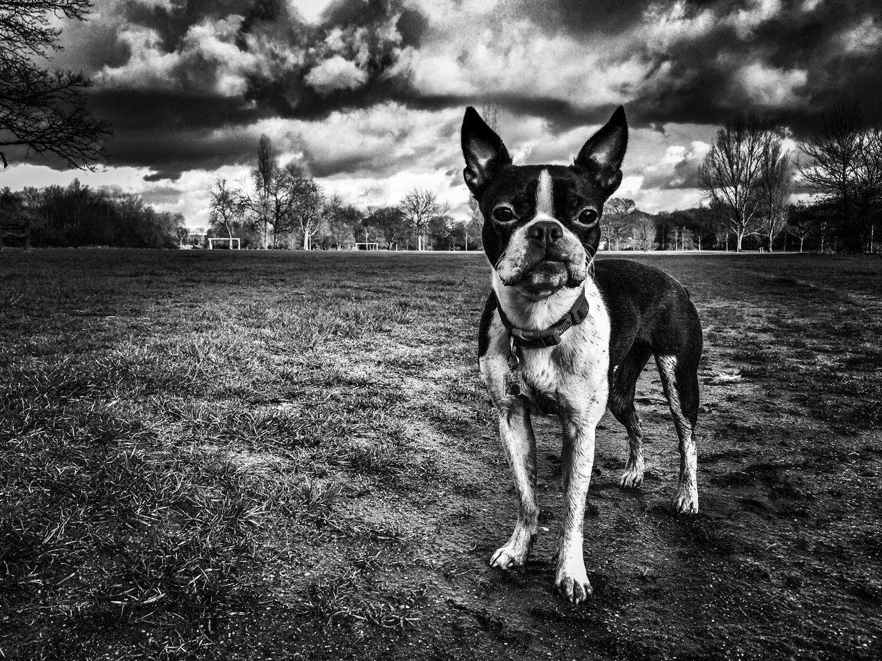 Portrait Of Boston Terrier On Field Against Cloudy Sky