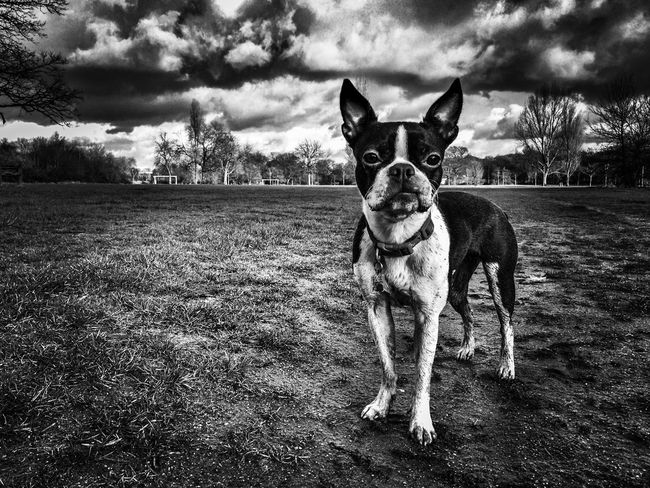 My Favorite Photo Boston Terrier Black And White IPhoneography Capture The Moment I Love My Dog this photo of my dog Meryl is one of my favourite photos ever because if not only captures her personality but also reflects my feelings about my life here in London. It was judged one of elf he top entries in the Mobile Photography Awards Shadow Stories competition in 2014. Iphoneonly Iphonephotography Mobile Photography Black & White Pet Tooting Broadway Fine Art Photography
