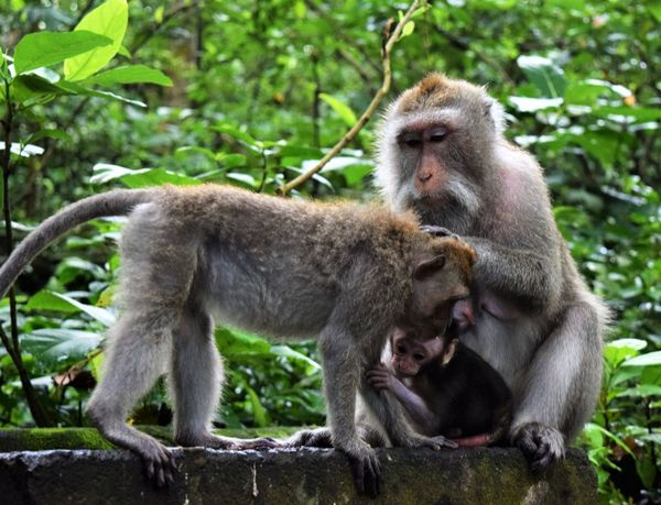Animal Themes Babies Beauty In Nature Care Family Love Love In Nature Mammal Monkey Monkey Forest Nature Primate Tenderness Togetherness