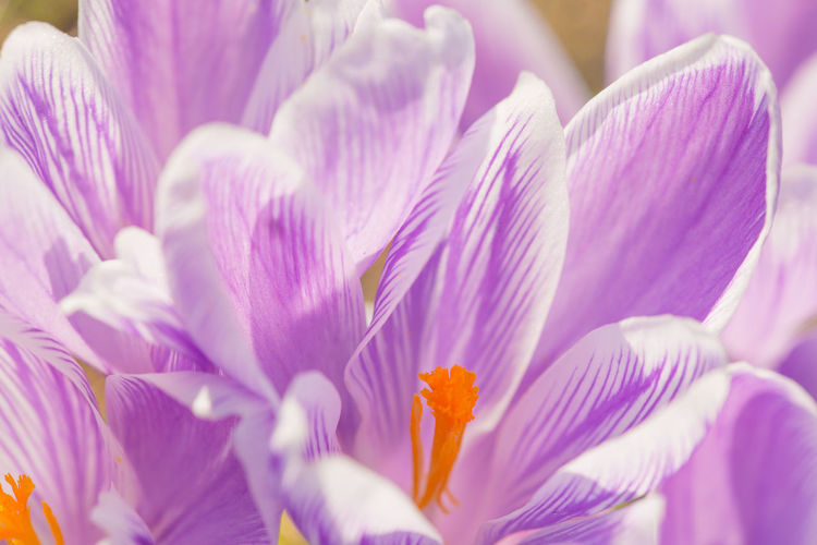 Full Frame Shot Of Purple Crocus Blooming Outdoors