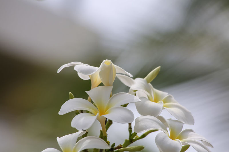 White flowers Beauty In Nature Break The Mold Close-up Day Flower Flower Head Fragility Freshness Growth Nature Naturelovers No People Outdoors Petal White Flowers - White Heptapeta White Magnolia White Magnolia Flower
