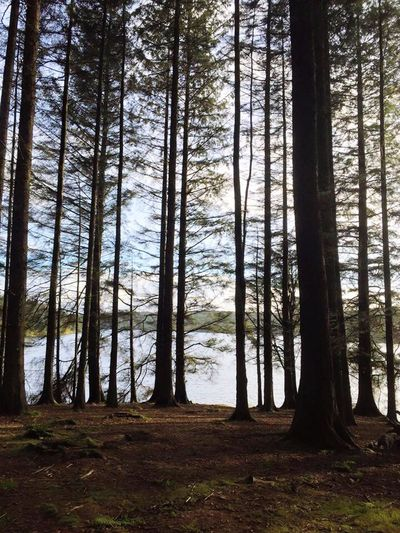 Ponsticill Reservoir. South Wales Reservoir Tall Trees Fir Trees Wales Skinny Trees Nature Photography