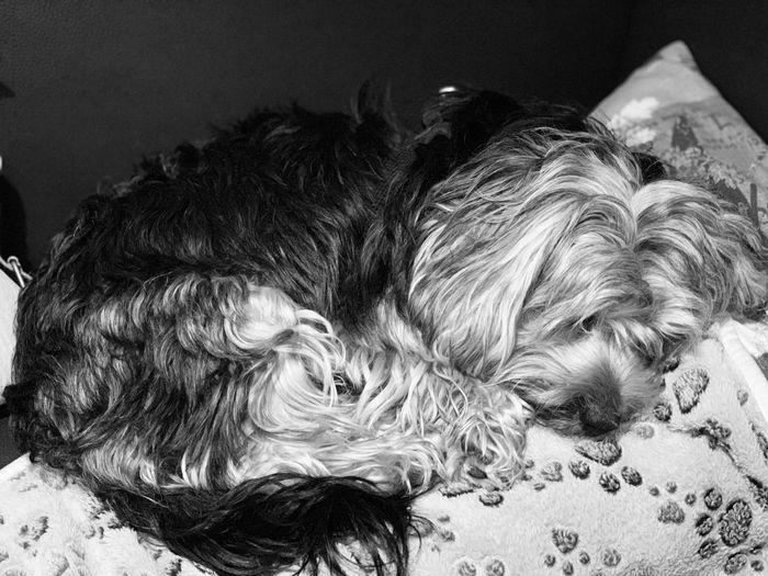 Canine Animal
