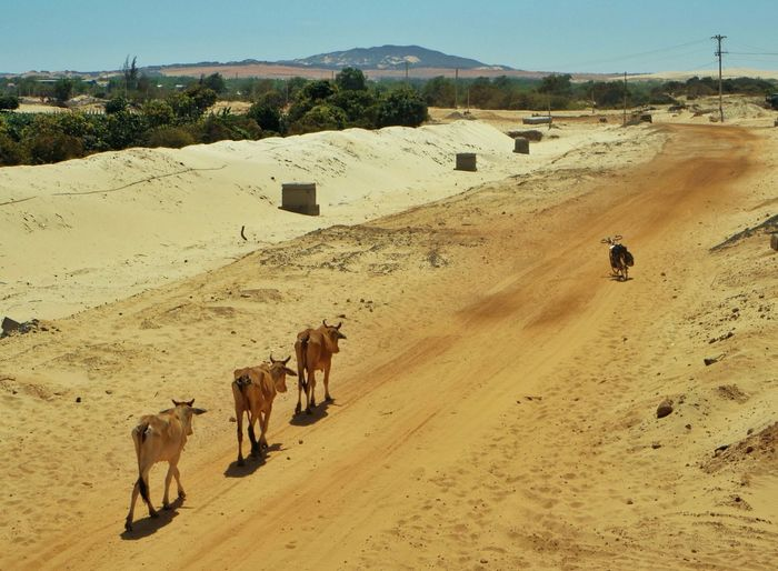 High Angle View Of Cows Walking On Dirt Road