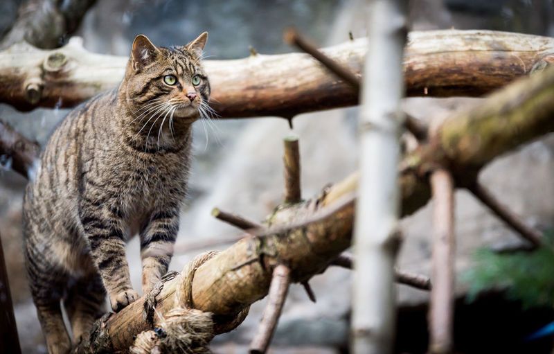 Scottish Wildcat on the prowl Animal Animal Photography Animal Themes Animalphotography Cat Feline Felis Silvestris Grampia Felis Silvestris Silvestris Mammal No People One Animal Outdoors Portrait Scotland Scottish Wildcat Wildcat