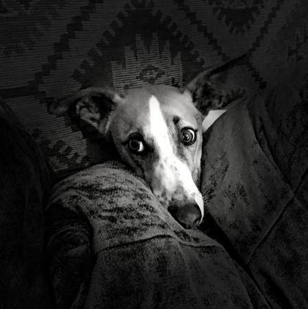Jeffrey whippet One Animal Animal Themes Domestic Animals Animal Head  Pets Zoology Full Frame Extreme Close Up Looking No People Loyalty Whippet XperiaZ5 Black And White Always Be Cozy