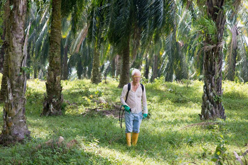 Palm Tree Spraying Oil Palm Oil Palm Leaf Oil Palm Plantations Oil Palm Tree Oil Palm Trees Palm Oil Palm Oil Farm Palm Oil Farmer Palm Oil Industry Palm Oil Plantation Palm Oil Tree