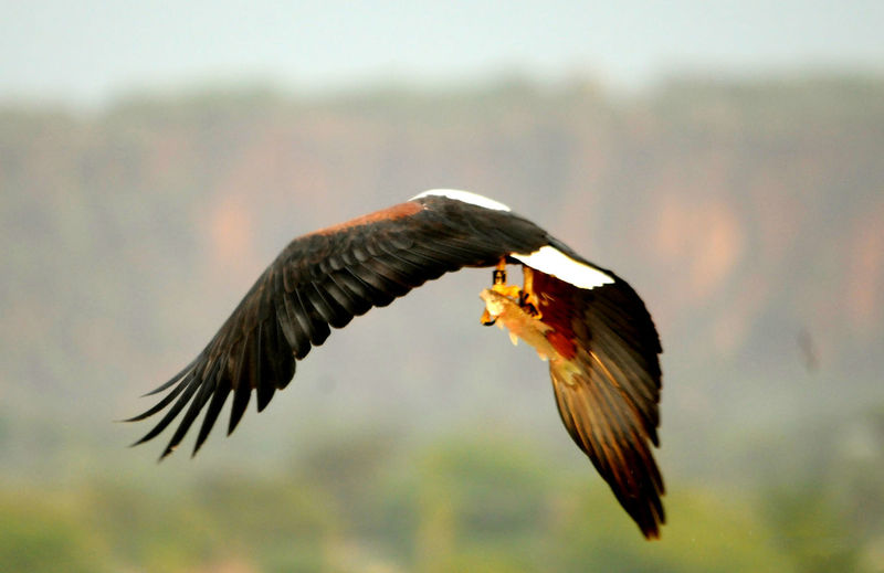 Lake Baringo Animal Animal Themes Animals In The Wild Bird Bird Of Prey Flying Focus On Foreground Mid-air Motion One Animal Outdoors Spread Wings Vertebrate
