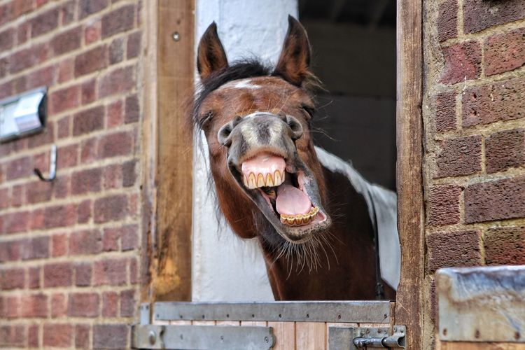 Close-Up Of Horse Neighing At Stable