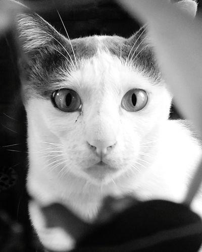 Domestic Cat Pets Feline Eye Animal Body Part Animal Head  Animal Eye