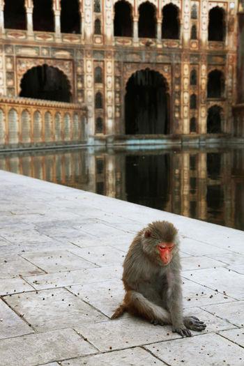 Monkey sitting by pond at hanuman temple