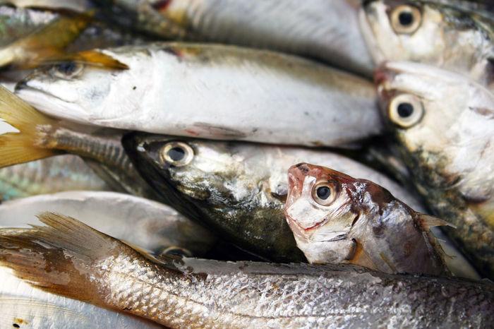 DEAD FISH Dead Dead Fishes Fish Market Fishes Mackerel Fish Mackerels Small Fishes