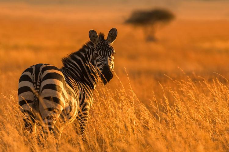 Zebra standing on field during sunset