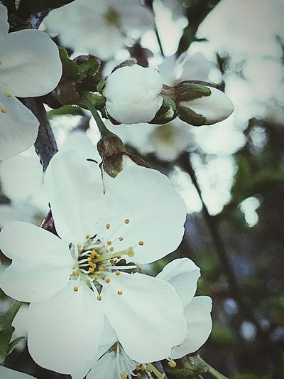 Cherry Blossoms Plant Growth Flower Flowering Plant Vulnerability  Fragility Beauty In Nature Close-up Flower Head No People Nature Springtime White Color Blossom