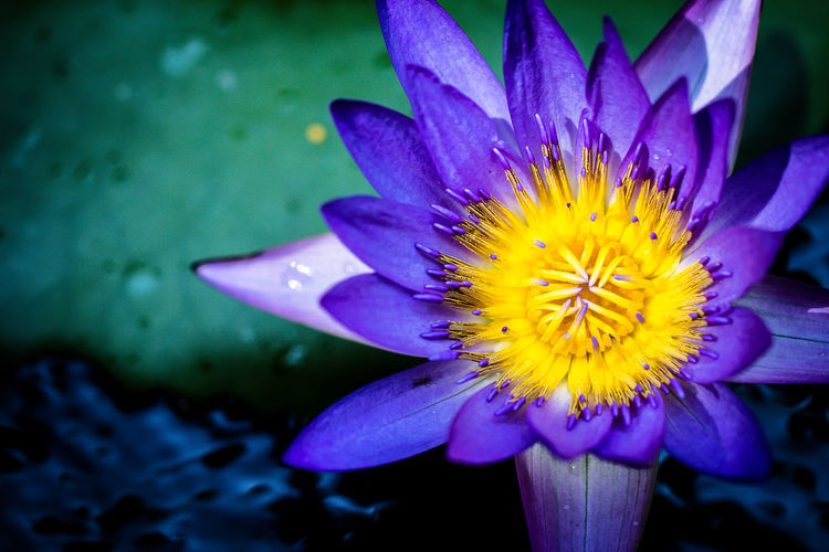 The Water Lily Beauty In Nature Blooming Blossom Botany Close-up Day Flower Flower Head Focus On Foreground Fragility Freshness Growth In Bloom Fine Art Photography Outdoors Petal Plant Pollen Purple Selective Focus Stamen Water Water Lily Yellow Colour Of Life