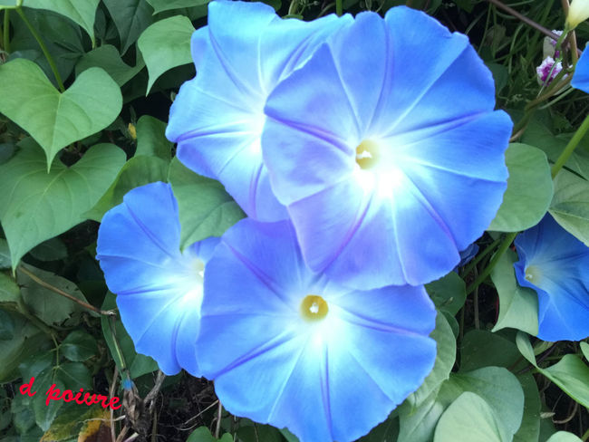 Flowers Morning Glory Beauty Nature Flowers,Plants & Garden
